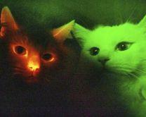 GMO cats